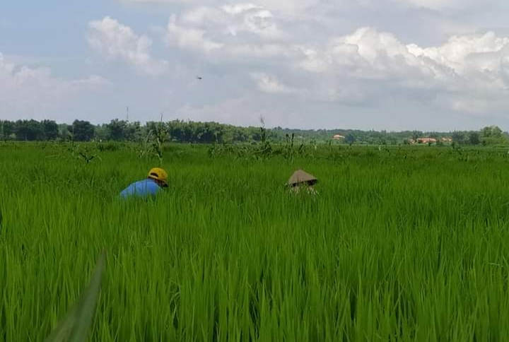 Dispertan Sampang Himbau Petani Waspada Hama di Musim Hujan