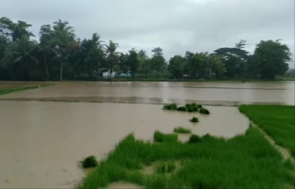 Puluhan Hektar Tanaman Padi Rusak Akibat Banjir, Ini Upaya Dispertan Sampang!