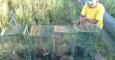 Gerombolan Tikus Persoalan Utama Petani, Berikut Tanggapan Dispertan Sampang