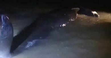 Gerombolan Ikan Paus Menepi Di Pinggir Pantai Modung Bangkalan