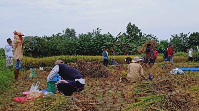Disperta Sampang Dorong Petani Jual Hasil Panen Dalam Bentuk Beras