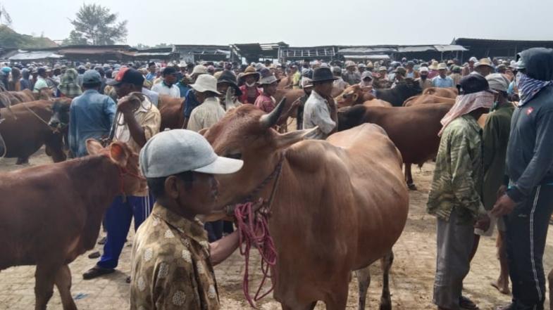 Program Bantuan Ternak, Disperta Sampang Siapkan 62 Ekor Sapi Untuk Poktan