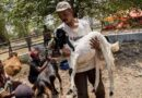Jelang Perayaan Maulid, Harga Hewan Ternak di Sampang Mulai Naik